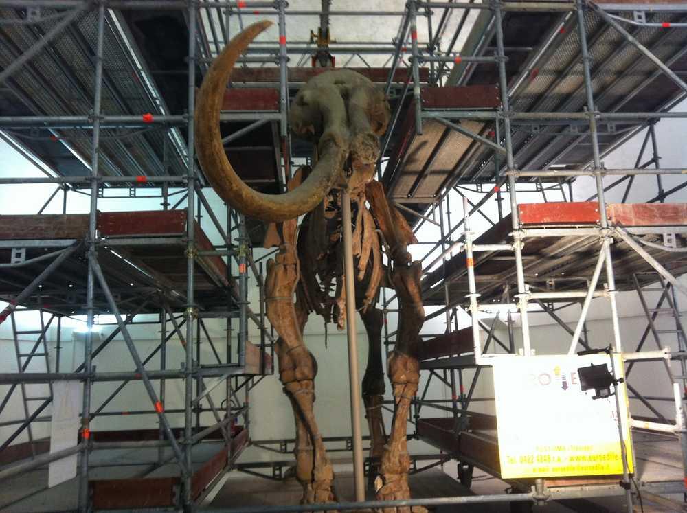 Lo scheletro del'animale attorniato da impalcature, per le operazioni di restauro