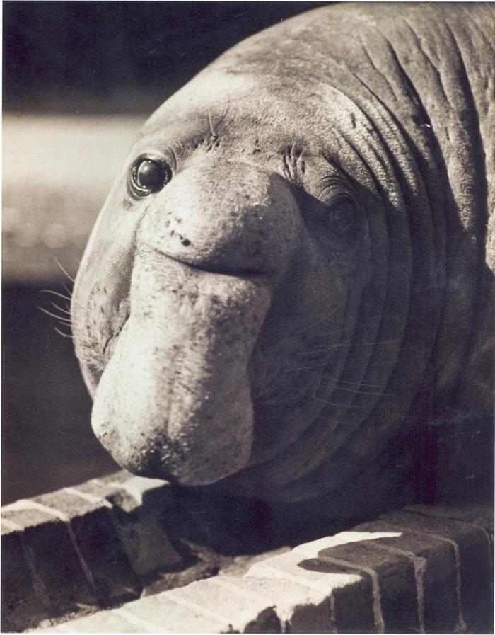 Friedrich Seidenstücker, Untitled (Roland, the Elephant Seal), ca. 1935, silver gelatin print. © Friedrich Seidenstücker, by SIAE 2014. Courtesy Museum der Moderne Salzburg