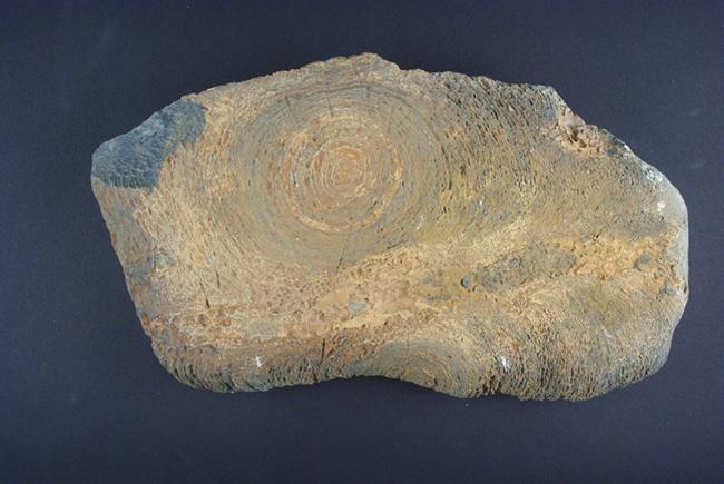 Stromatolite del genere Jacutophyton. Proterozoico della Mauritania (circa 1.000-800.ma.). Museo di Storia Naturale di Milano
