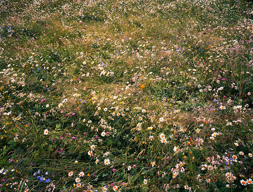 Alpine Wildflowers 3 2008