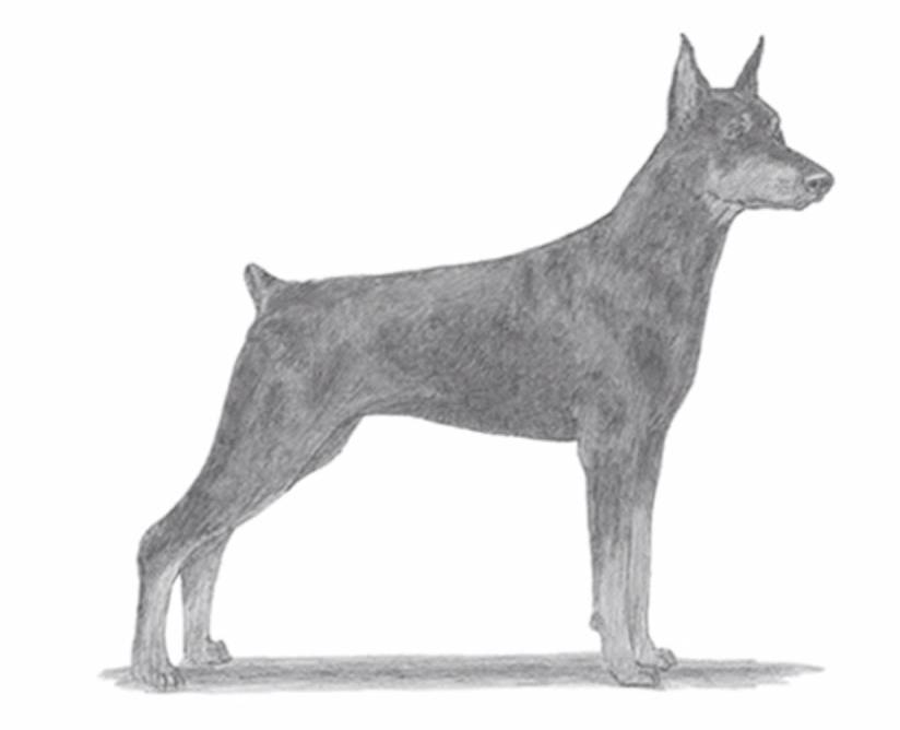 Come disegnare un dobermann tutorial stile arte for Cane disegno facile