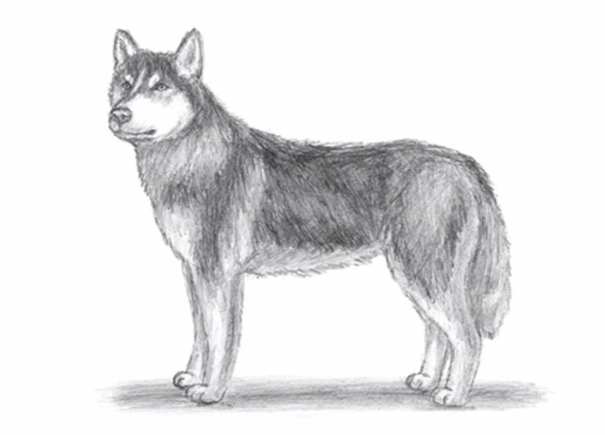 Come Disegnare Un Husky Tutorial Stile Arte