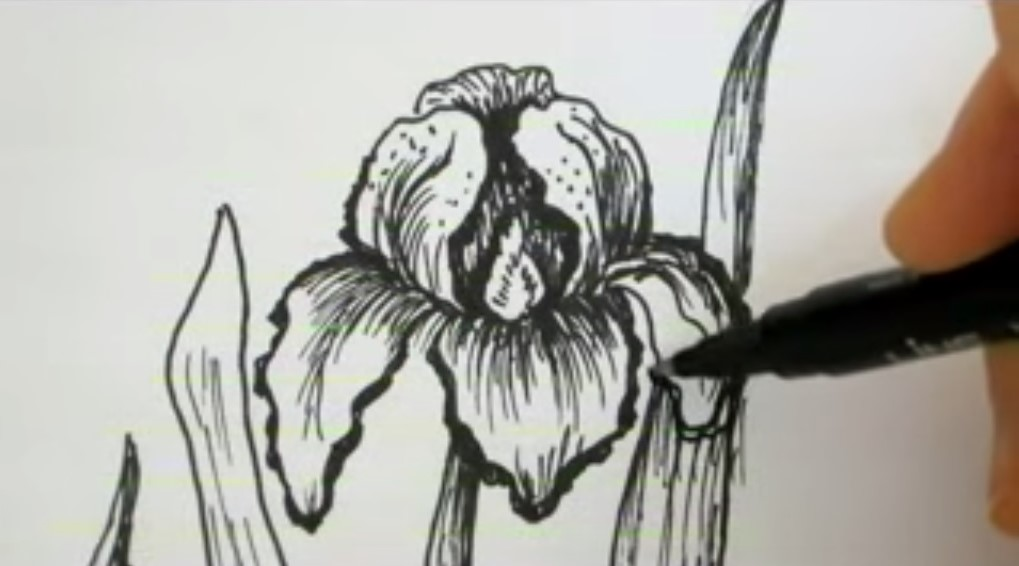iris disegno