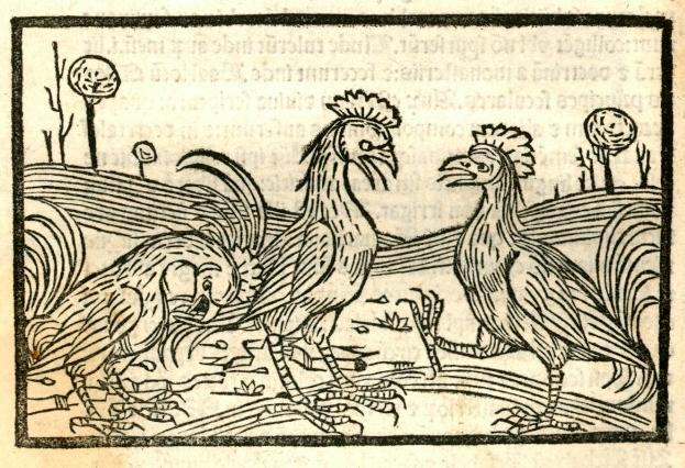I tre tipi di gallo nel libro libro di Johannes Lichtenberger, edizione del 1492