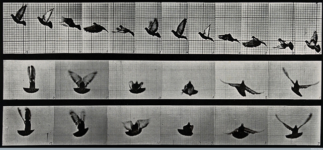 E.M.: A cockatoo flying, 1887, Wellcome Library, educational projectCredit: Wellcome Library, London. Wellcome Images images@wellcome.ac.uk http://wellcomeimages.org A cockatoo flying. Photogravure after Eadweard Muybridge, 1887. 1887 By: Eadweard Muybridge and University of Pennsylvania.Published: 1887 Copyrighted work available under Creative Commons Attribution only licence CC BY 4.0 http://creativecommons.org/licenses/by/4.0/